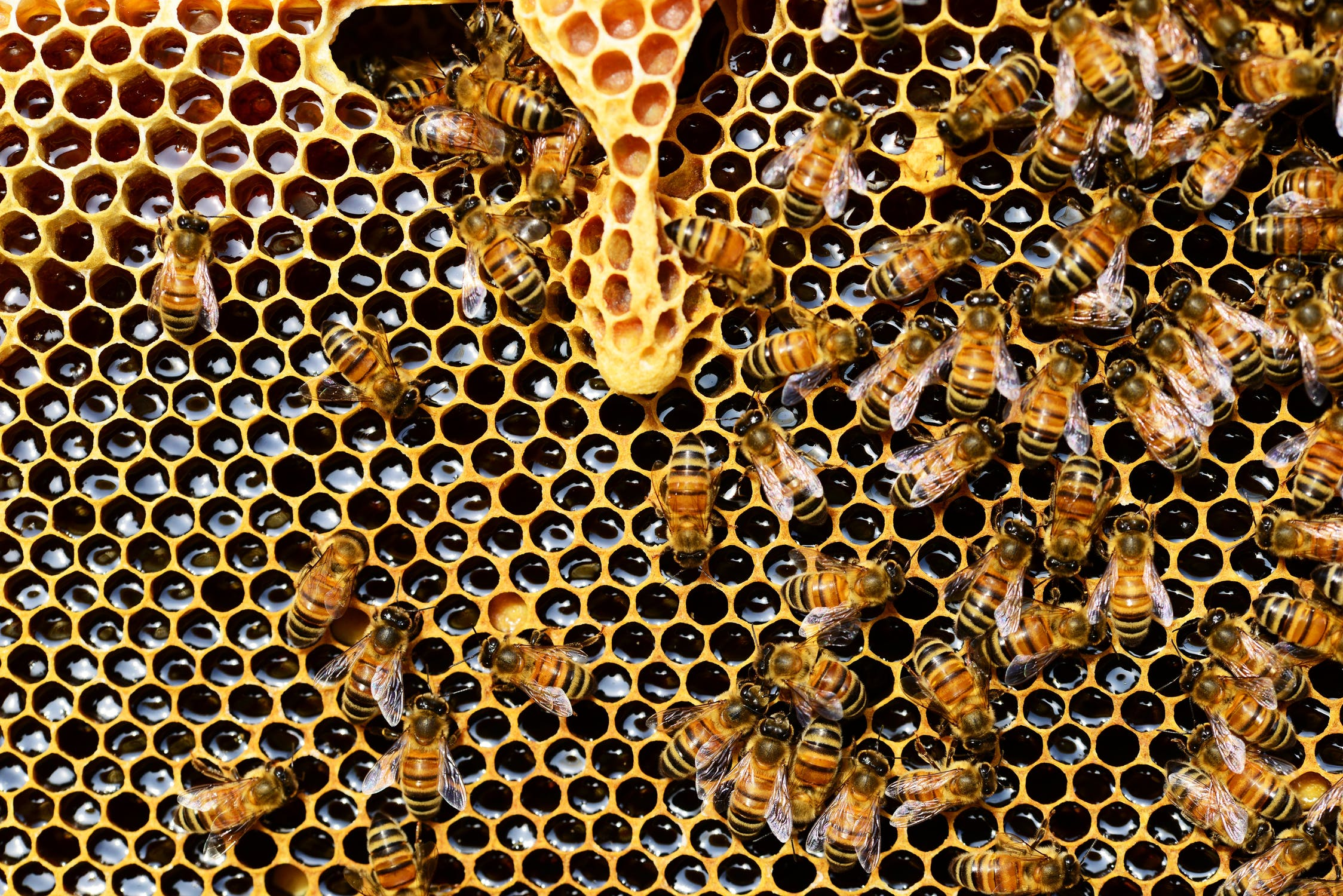 Bees crawling over honeycomb
